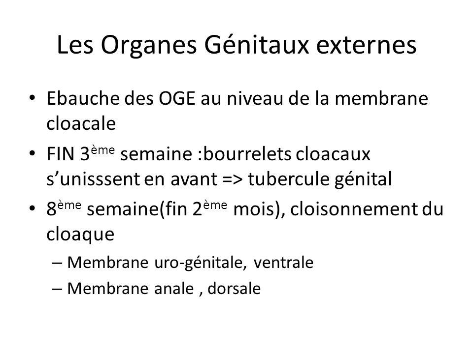 Les Organes Génitaux externes Ebauche des OGE au niveau de la membrane cloacale FIN 3 ème semaine :bourrelets cloacaux sunisssent en avant => tubercul