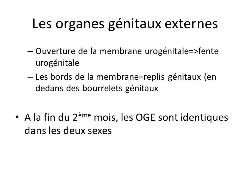 Les organes génitaux externes – Ouverture de la membrane urogénitale=>fente urogénitale – Les bords de la membrane=replis génitaux (en dedans des bour