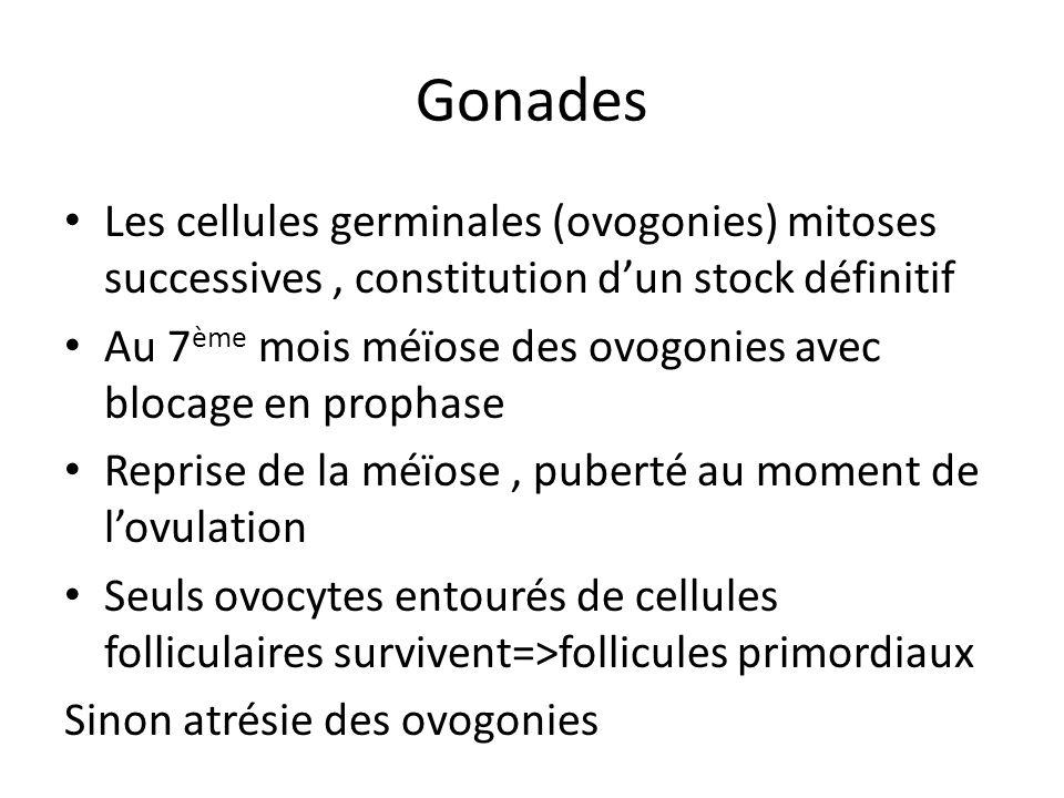Gonades Les cellules germinales (ovogonies) mitoses successives, constitution dun stock définitif Au 7 ème mois méïose des ovogonies avec blocage en p
