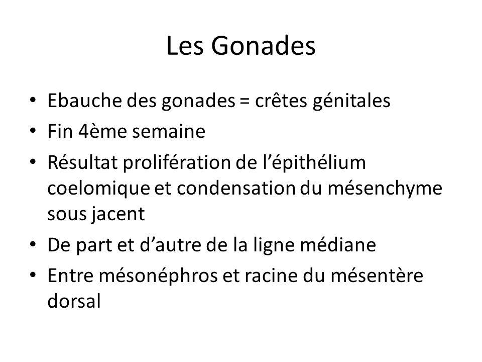Les Gonades Ebauche des gonades = crêtes génitales Fin 4ème semaine Résultat prolifération de lépithélium coelomique et condensation du mésenchyme sou