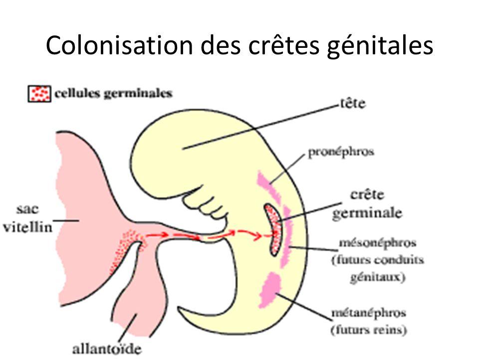 Colonisation des crêtes génitales