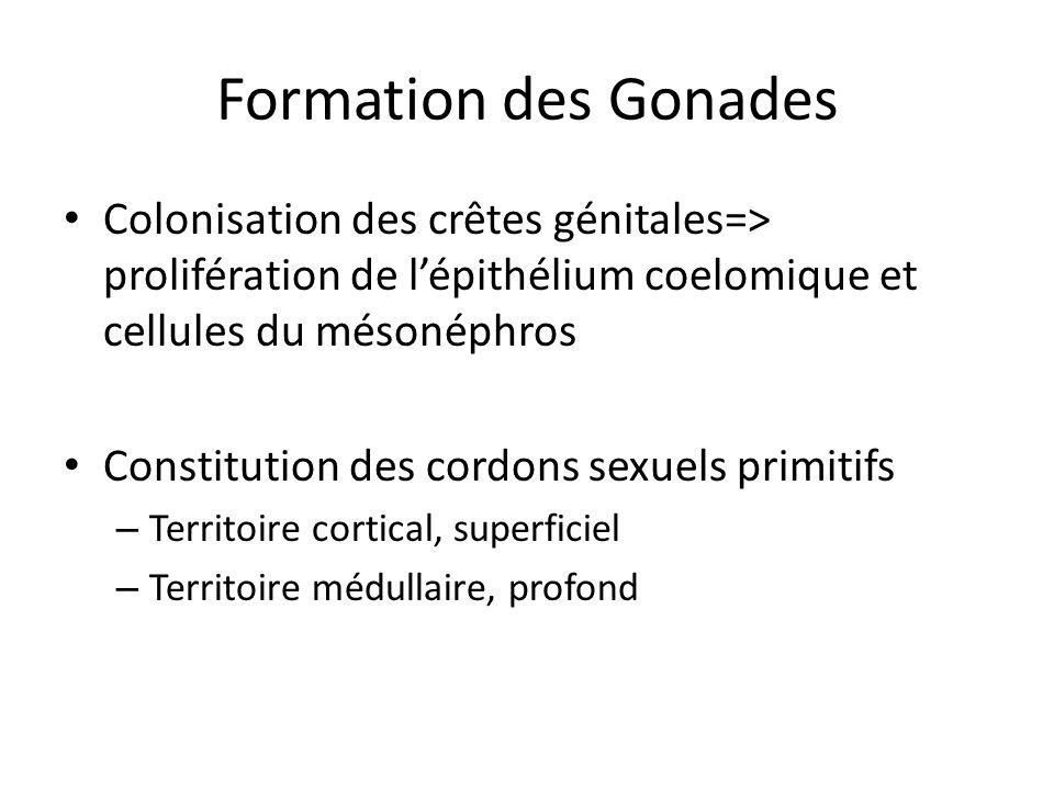 Formation des Gonades Colonisation des crêtes génitales=> prolifération de lépithélium coelomique et cellules du mésonéphros Constitution des cordons