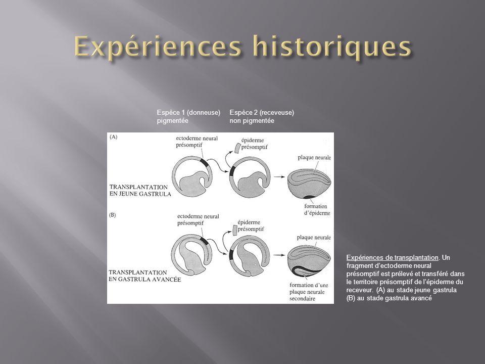 Espèce 1 (donneuse) pigmentée Espèce 2 (receveuse) non pigmentée Expériences de transplantation. Un fragment dectoderme neural présomptif est prélevé