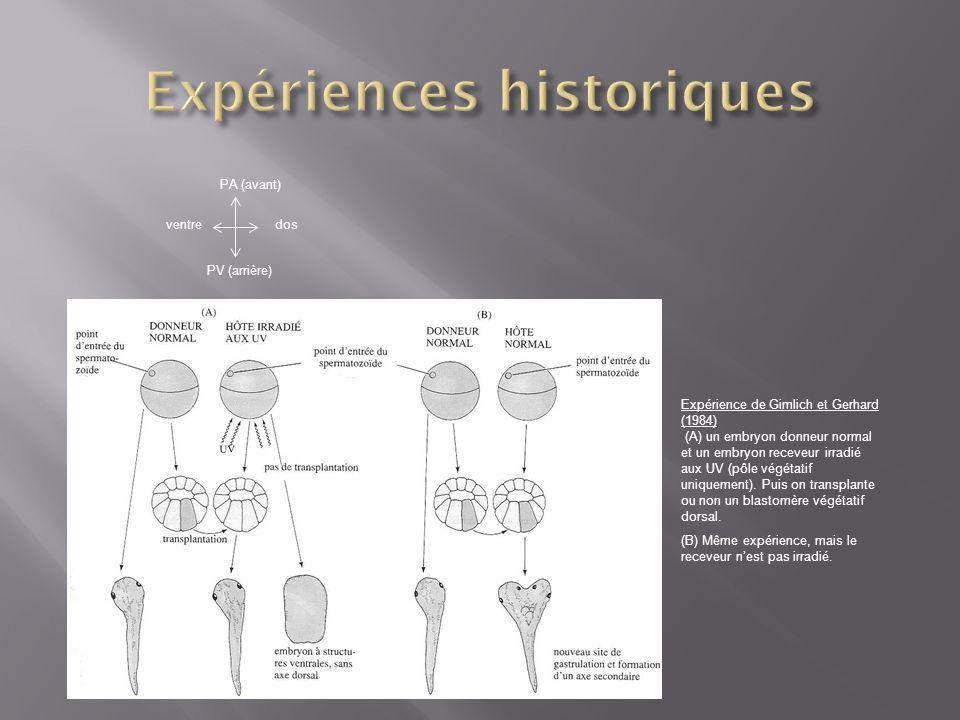Expérience de Gimlich et Gerhard (1984) (A) un embryon donneur normal et un embryon receveur irradié aux UV (pôle végétatif uniquement). Puis on trans