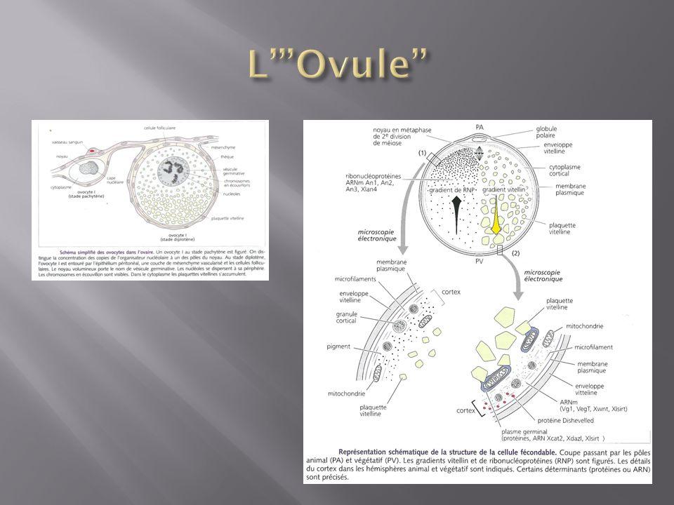 A- Têtard – Lammoniac est éliminé au niveau des branchies (1), de la peau (2) et des reins (3).