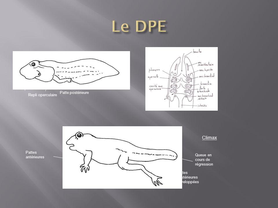 spiracle Repli operculaire Patte postérieure Climax Pattes antérieures Queue en cours de régression Pattes postérieures développées