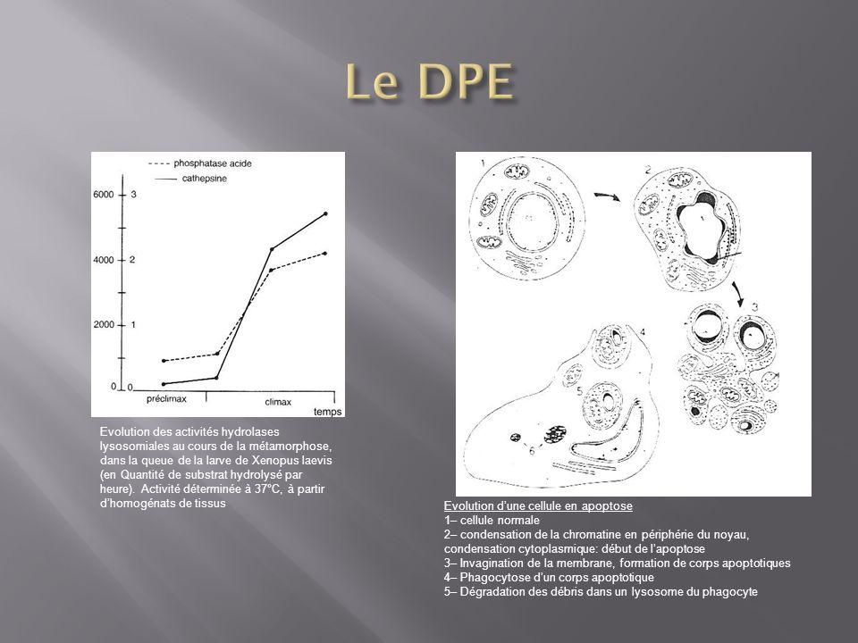 Evolution des activités hydrolases lysosomiales au cours de la métamorphose, dans la queue de la larve de Xenopus laevis (en Quantité de substrat hydr