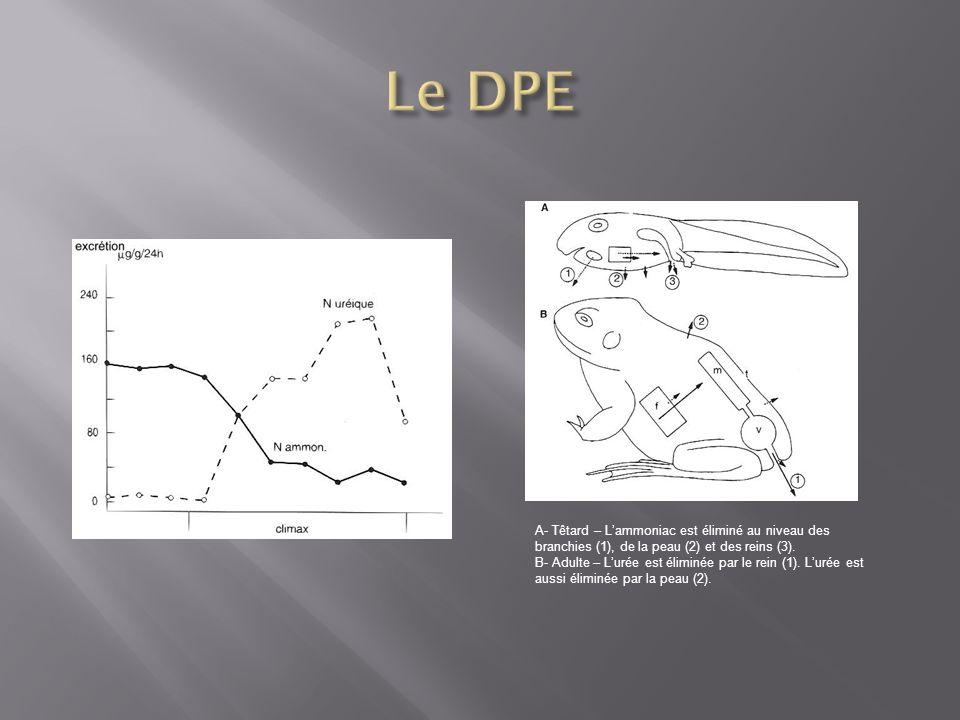 A- Têtard – Lammoniac est éliminé au niveau des branchies (1), de la peau (2) et des reins (3). B- Adulte – Lurée est éliminée par le rein (1). Lurée