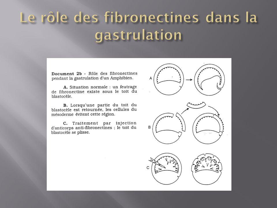 Expérience de Gimlich et Gerhard (1984) (A) un embryon donneur normal et un embryon receveur irradié aux UV (pôle végétatif uniquement).
