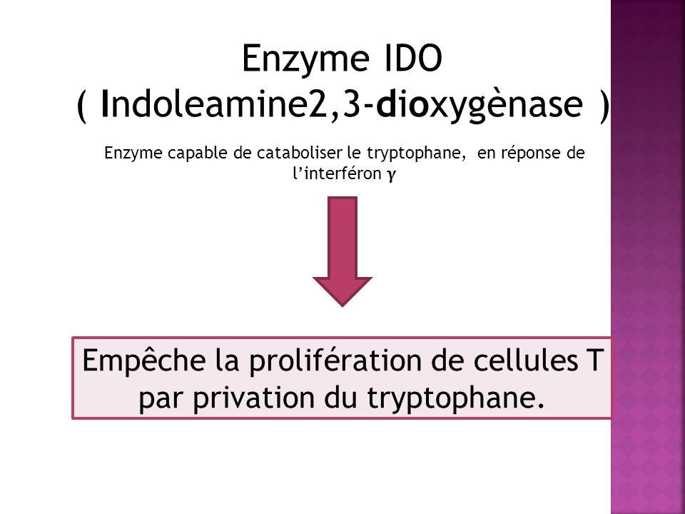 Enzyme IDO ( Indoleamine2,3-dioxygènase ) Enzyme capable de cataboliser le tryptophane, en réponse de linterféron Empêche la prolifération de cellules T par privation du tryptophane.