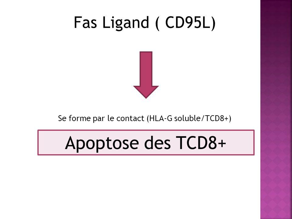 Fas Ligand ( CD95L) Se forme par le contact (HLA-G soluble/TCD8+) Apoptose des TCD8+