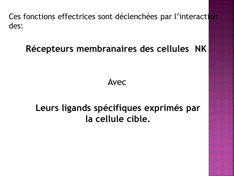 Ces fonctions effectrices sont déclenchées par linteraction des: Récepteurs membranaires des cellules NK Avec Leurs ligands spécifiques exprimés par la cellule cible.