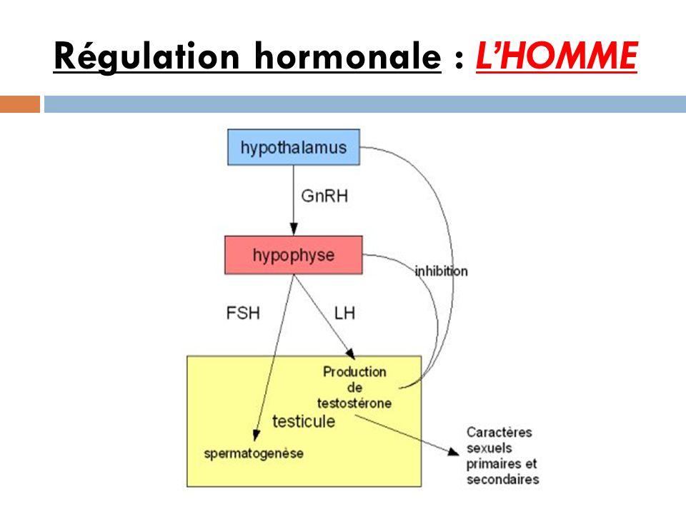 Régulation hormonale : LHOMME
