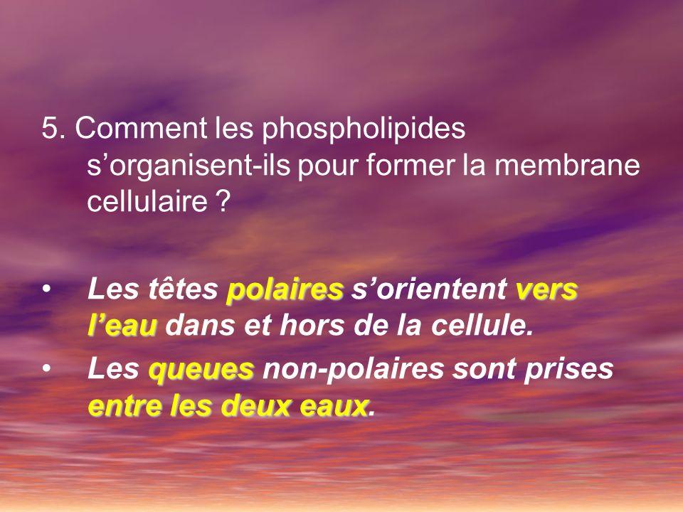 5. Comment les phospholipides sorganisent-ils pour former la membrane cellulaire ? polairesvers leauLes têtes polaires sorientent vers leau dans et ho