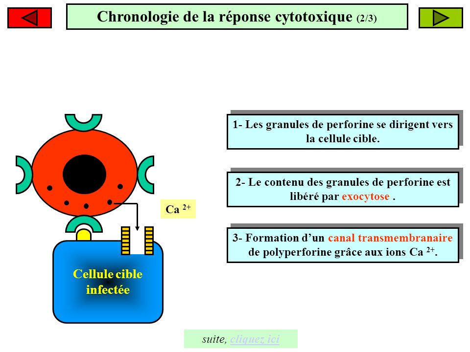 Cellule cible infectée 1- Les granules de perforine se dirigent vers la cellule cible. 1- Les granules de perforine se dirigent vers la cellule cible.