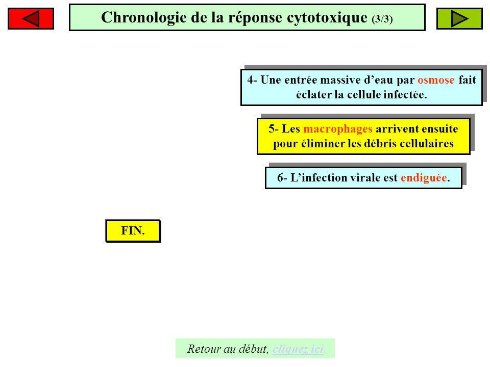 Chronologie de la réponse cytotoxique (3/3) Eau 4- Une entrée massive deau par osmose fait éclater la cellule infectée. 4- Une entrée massive deau par