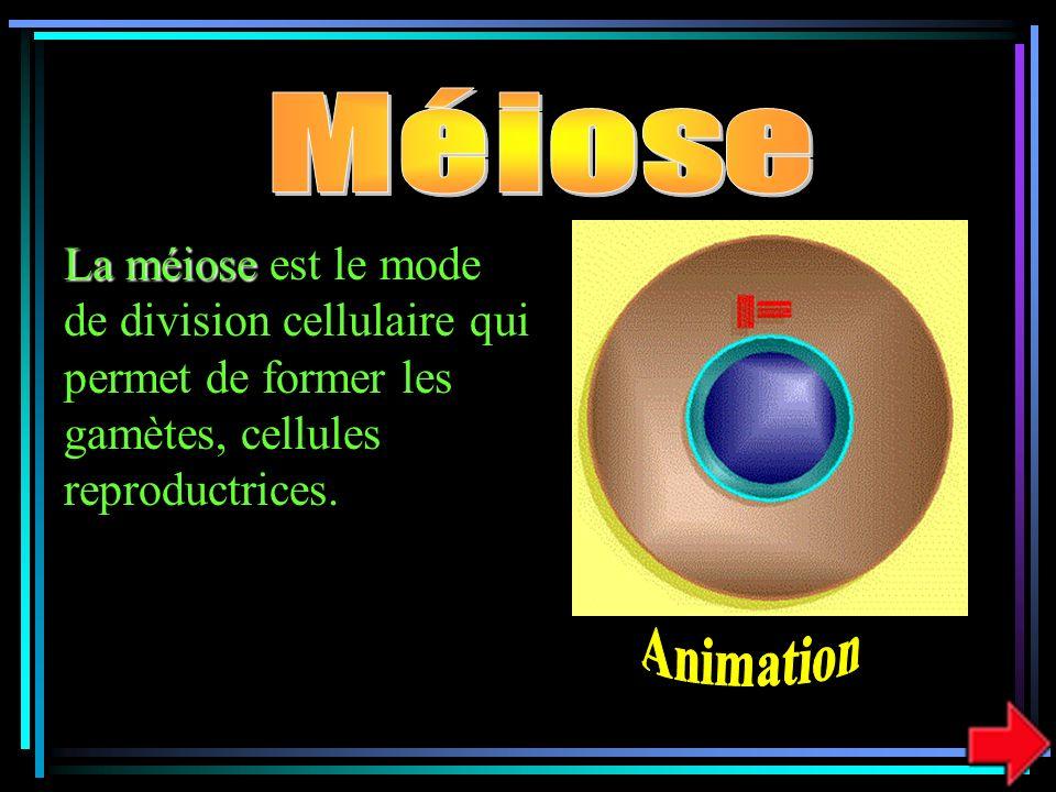 La méiose La méiose est le mode de division cellulaire qui permet de former les gamètes, cellules reproductrices.