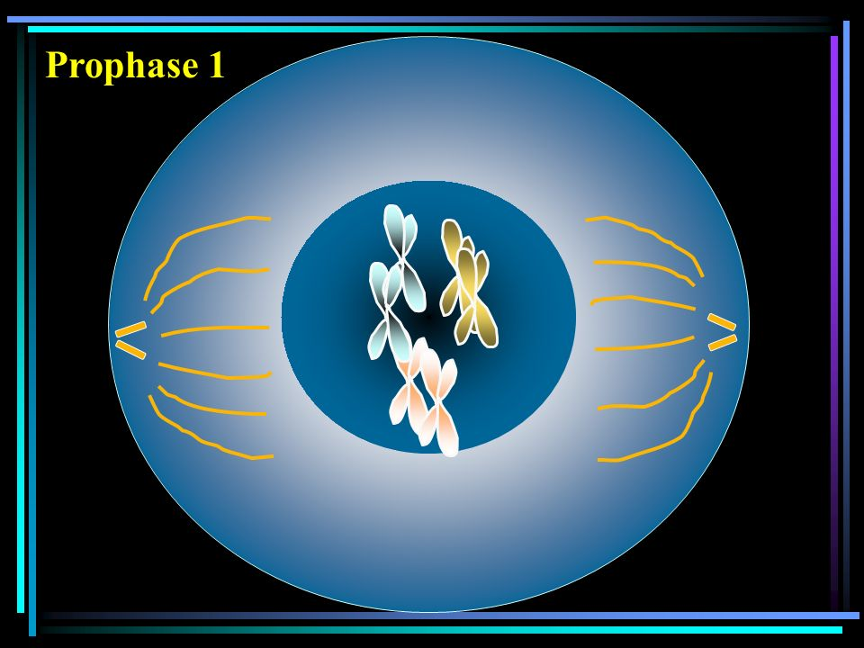 Interphase Cellule mère