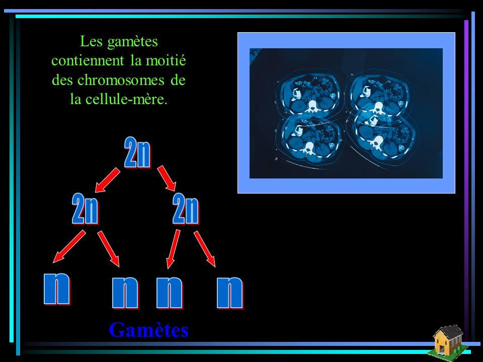 Télophase 2 Gamètes