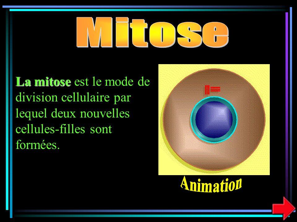 La mitose La mitose est le mode de division cellulaire par lequel deux nouvelles cellules-filles sont formées.