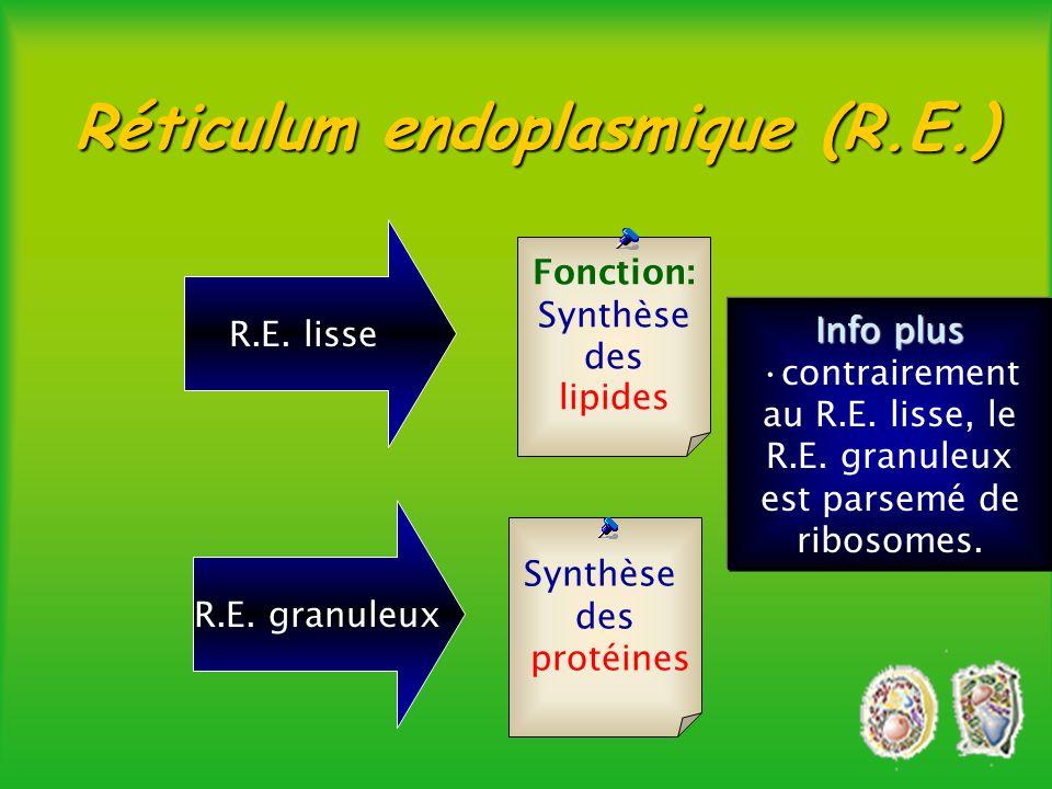 Fonction: acheminer les substances dune partie de la cellule à une autre Réticulum endoplasmique èTubes aplatis qui permettent une continuité avec le noyau mais un milieu isolé pour la synthèse des protéines.