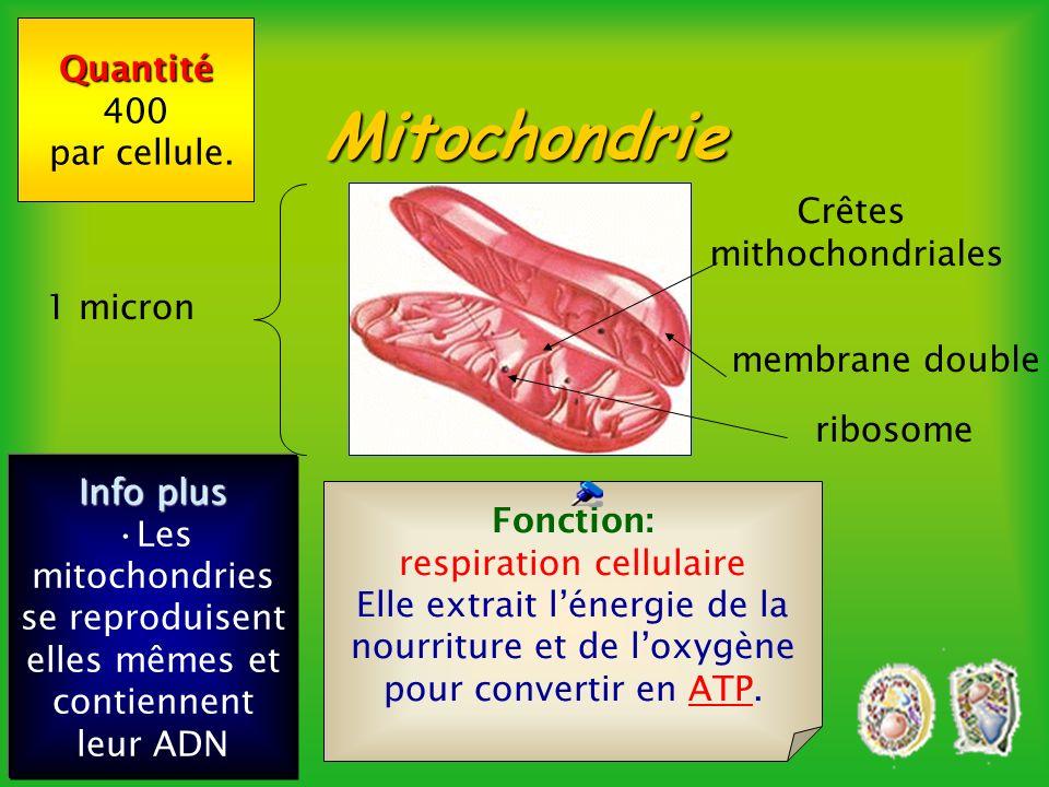 Les formules énergétiques 6 C 6 H 12 O 6 +6 O 2 6 CO 2 + 6 H 2 O + ENERGIE (38 ATP) Formule de la respiration cellulaire 6 CO 2 + 6 H 2 O + Lumière 6 O 2 + 6 C 6 H 12 O 6 Formule de la photosynthèse Mitochondrie Chloroplaste