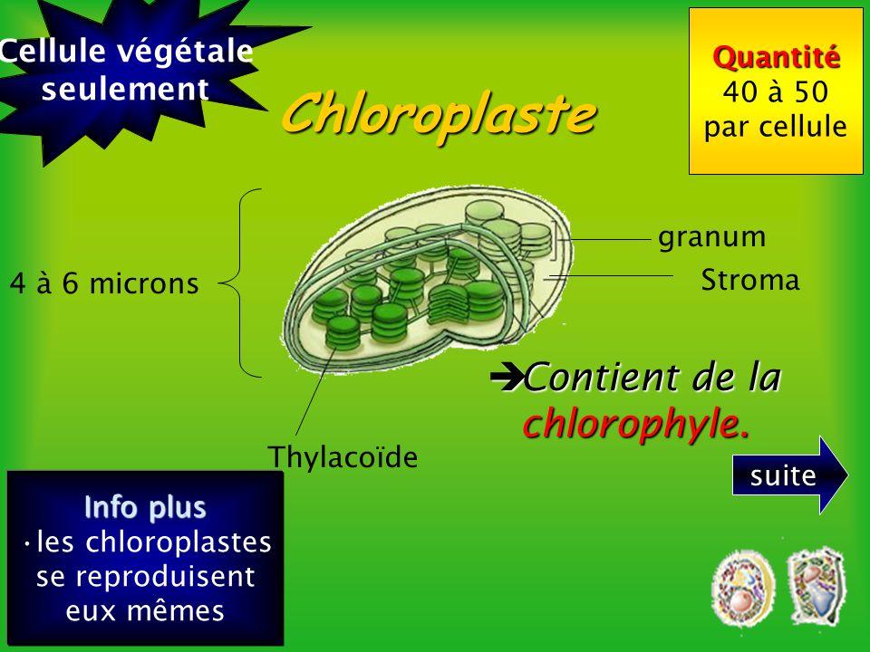 Mitochondrie Crêtes mithochondriales membrane double 1 micron ribosome Info plus Les mitochondries se reproduisent elles mêmes et contiennent leur ADN Quantité 400 par cellule.