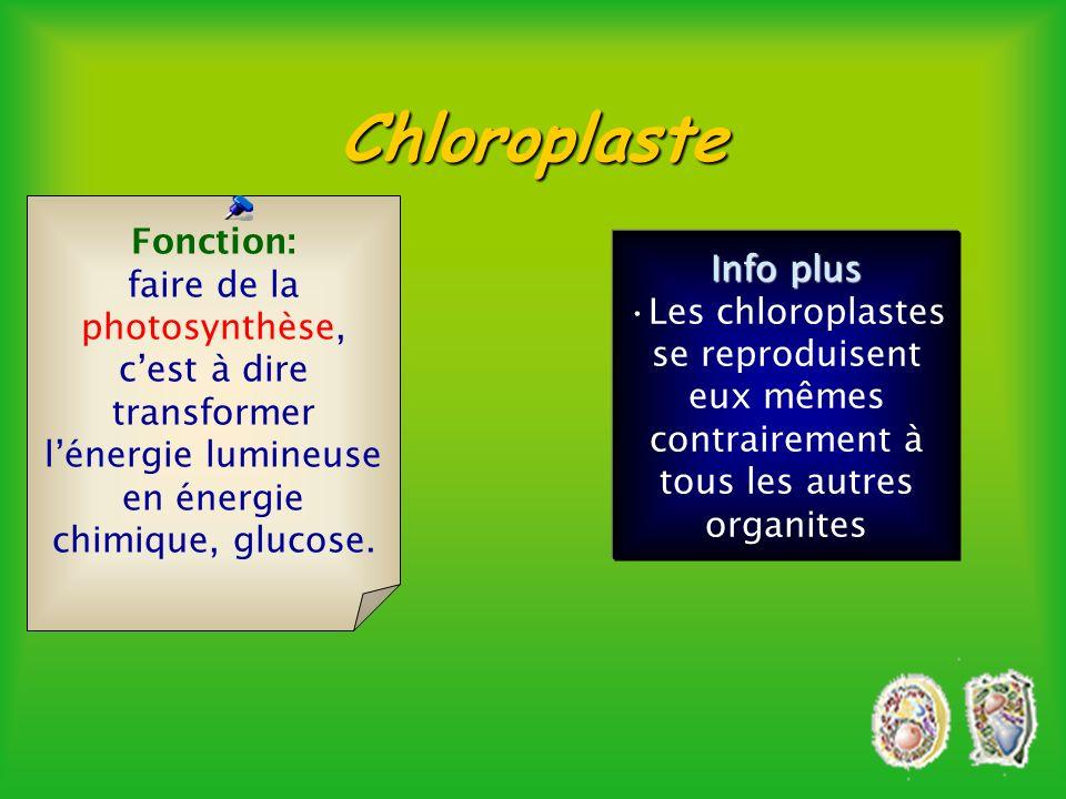 Cellule végétale seulementChloroplaste èContient de la chlorophyle. Thylacoïde granum 4 à 6 microns Stroma Quantité 40 à 50 par cellule Info plus les