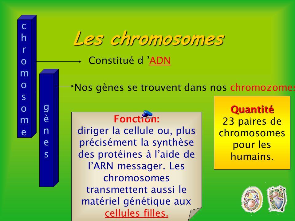 Cliquez sur la chromatine ou le nucléole pour des explications. 5 microns