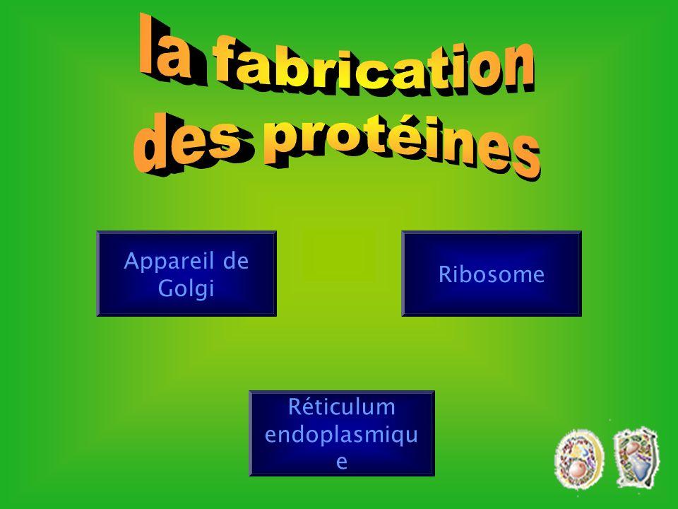 Nucléole Fonction: synthèse des ribosomes. ribosomes. ARN protéines Ribosome cliquez ici Cliquez ici
