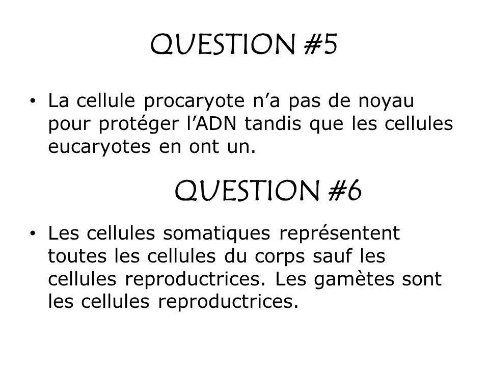 QUESTION #5 La cellule procaryote na pas de noyau pour protéger lADN tandis que les cellules eucaryotes en ont un. QUESTION #6 Les cellules somatiques