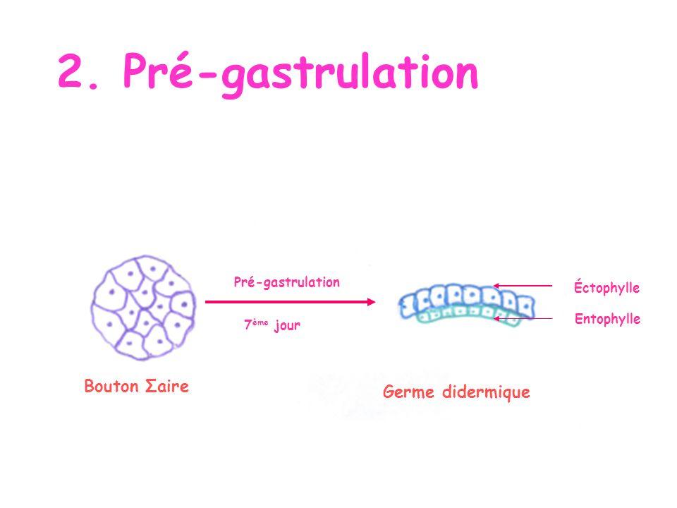 2. Pré-gastrulation Bouton Σaire Germe didermique Pré-gastrulation 7 ème jour Éctophylle Entophylle