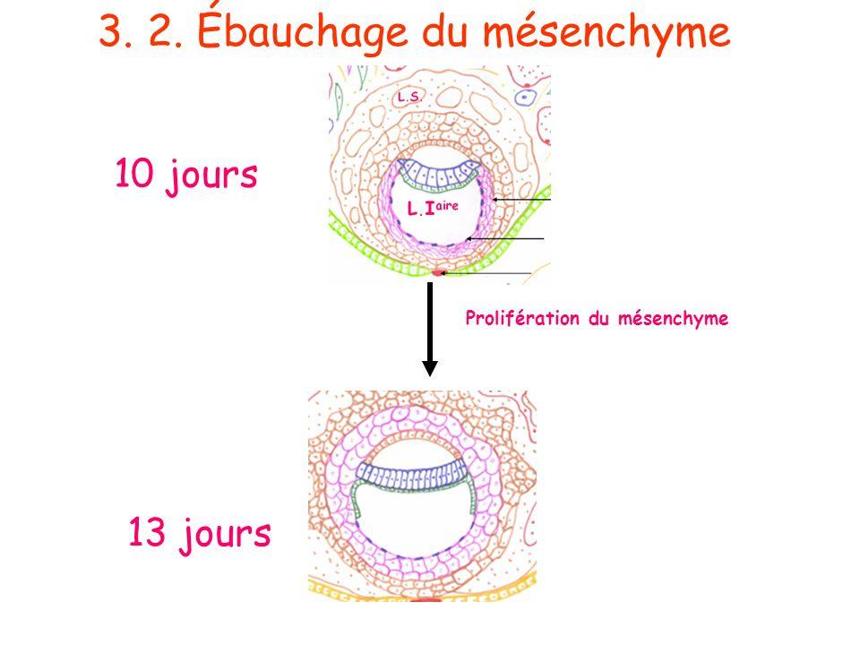 Prolifération du mésenchyme 10 jours 13 jours 3. 2. Ébauchage du mésenchyme