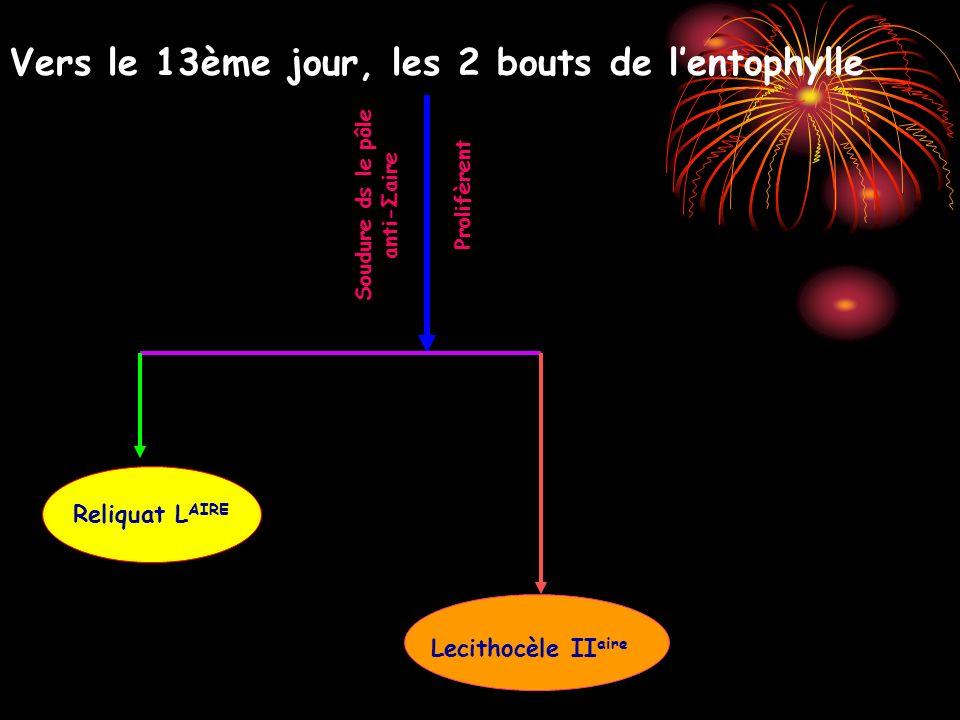 Vers le 13ème jour, les 2 bouts de lentophylle Prolifèrent Soudure ds le pôle anti-Σaire Reliquat L AIRE Lecithocèle II aire