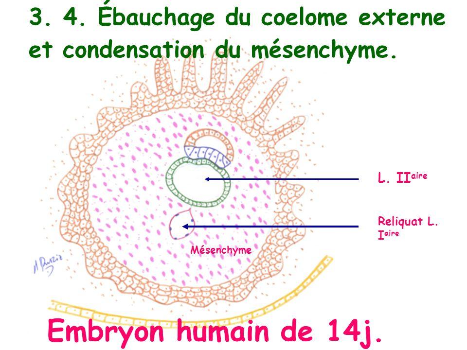 Mésenchyme L. II aire Reliquat L. I aire Embryon humain de 14j. 3. 4. Ébauchage du coelome externe et condensation du mésenchyme.
