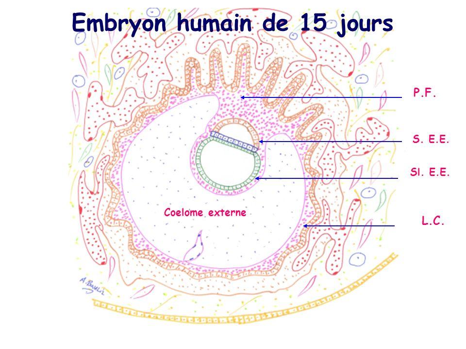 Coelome externe S. E.E. P.F. L.C. Sl. E.E. Embryon humain de 15 jours