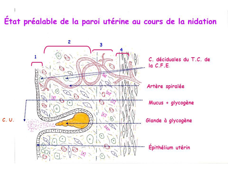 1 2 3 4 Épithélium utérin Glande à glycogène Mucus + glycogène C. U. État préalable de la paroi utérine au cours de la nidation C. déciduales du T.C.