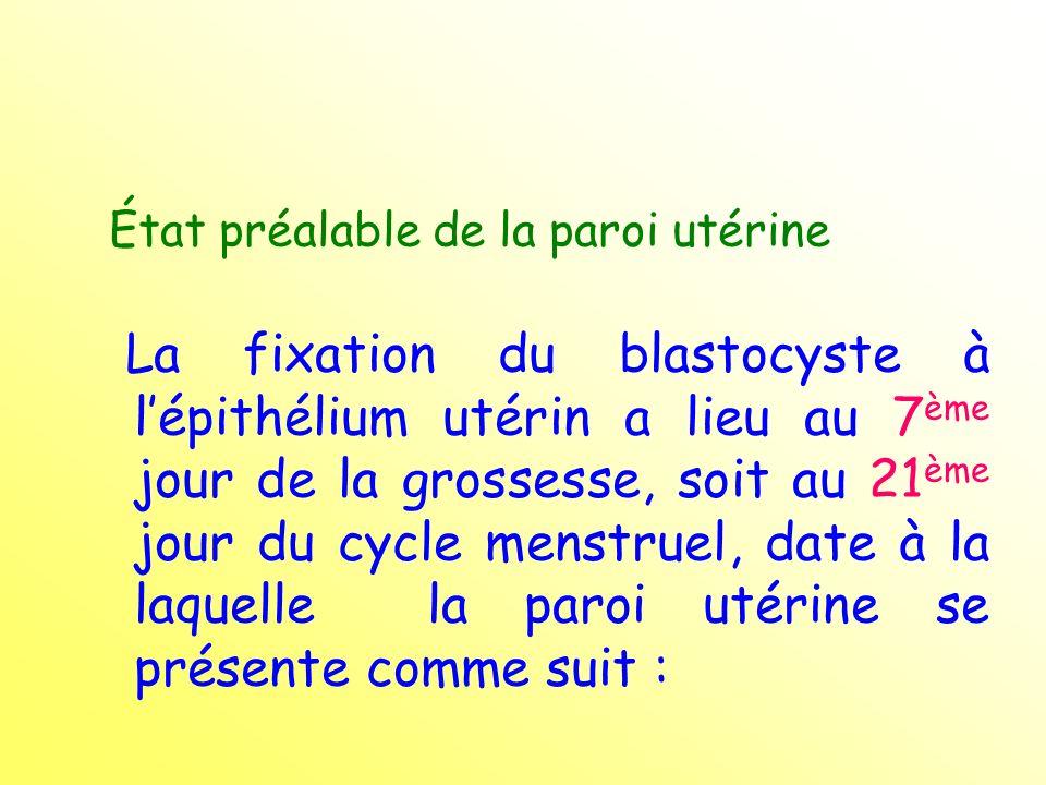 État préalable de la paroi utérine La fixation du blastocyste à lépithélium utérin a lieu au 7 ème jour de la grossesse, soit au 21 ème jour du cycle