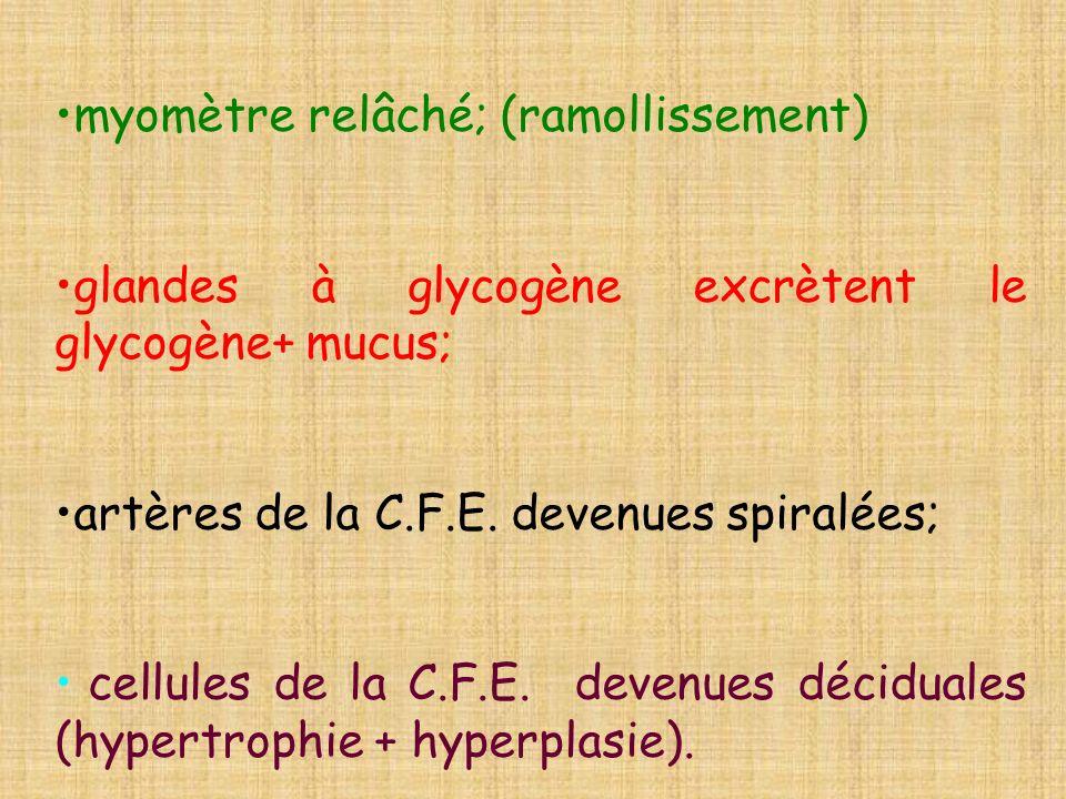 myomètre relâché; (ramollissement) glandes à glycogène excrètent le glycogène+ mucus; artères de la C.F.E. devenues spiralées; cellules de la C.F.E. d