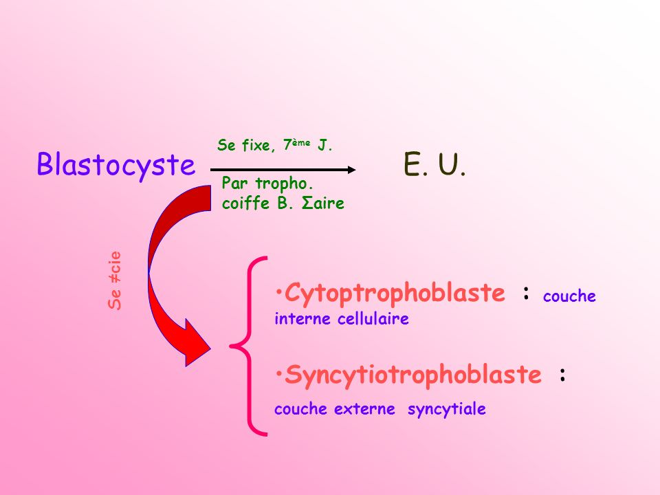Couche profonde du cytotrophoblaste qui délimite la C.
