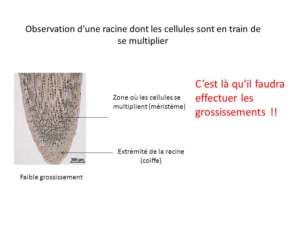 Observation dune racine dont les cellules sont en train de se multiplier Faible grossissement Extrémité de la racine (coiffe) Zone où les cellules se