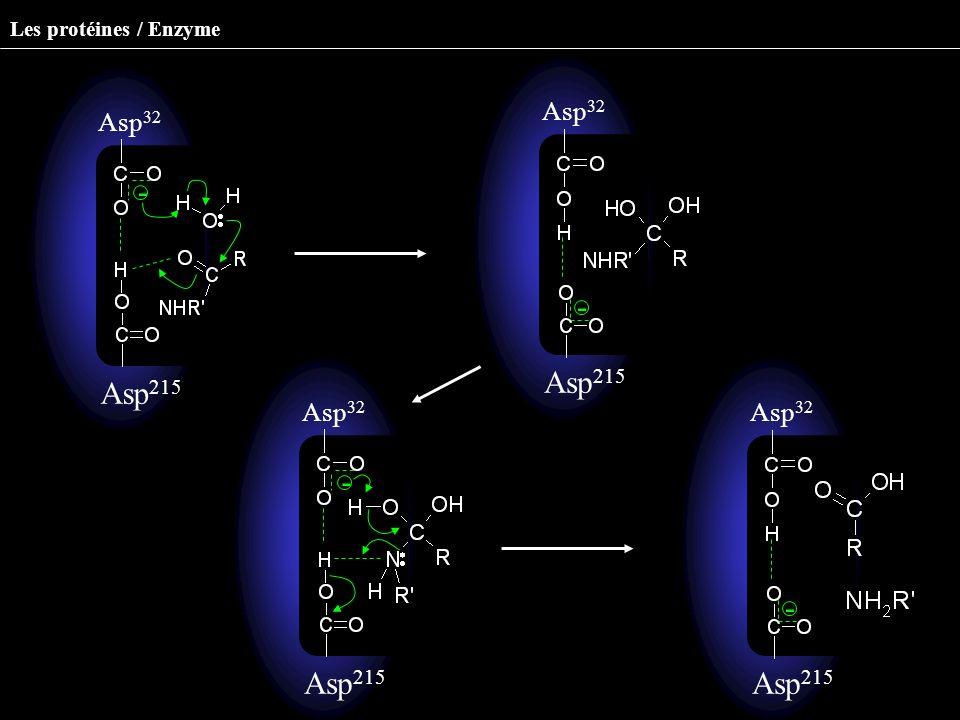 Asp 32 Asp 215 - Asp 32 Asp 215 - Asp 32 Asp 215 - Asp 32 Asp 215 - Les protéines / Enzyme