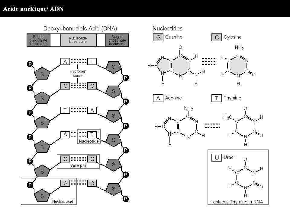 Acide nucléique/ ADN