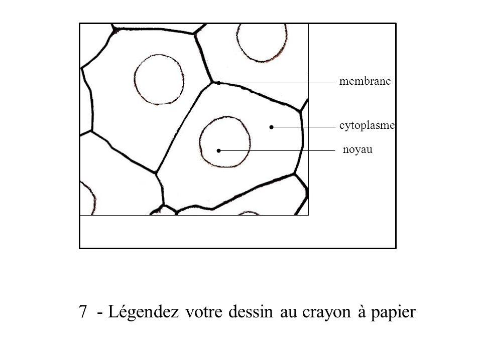 7 - Légendez votre dessin au crayon à papier membrane cytoplasme noyau