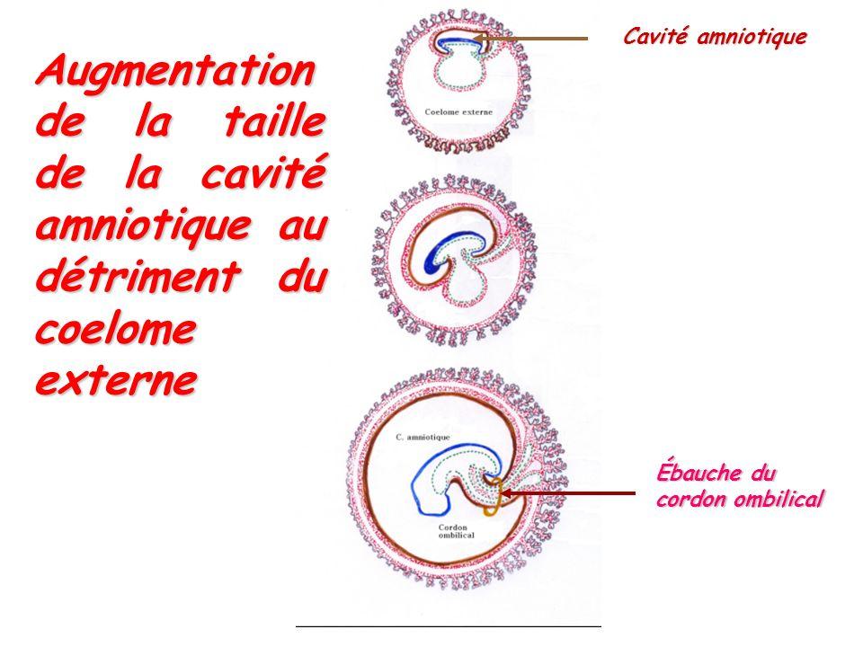Cavité amniotique Ébauche du cordon ombilical Augmentation de la taille de la cavité amniotique au détriment du coelome externe