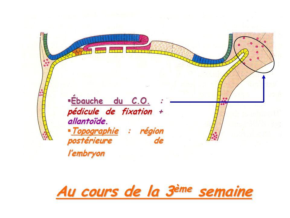 Ébauche du C.O.: pédicule de fixation + allantoïde.