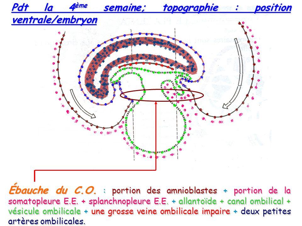 Ébauche du C.O.: portion des amnioblastes + portion de la somatopleure E.E.