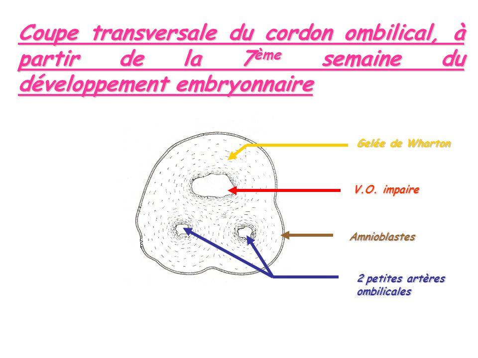 Coupe transversale du cordon ombilical, à partir de la 7ème semaine du développement embryonnaire Amnioblastes V.O.