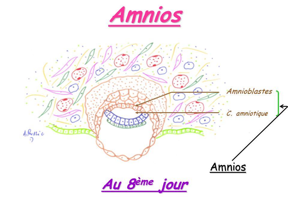 Amnios Amnioblastes C. amniotique Au 8 ème jour Amnios