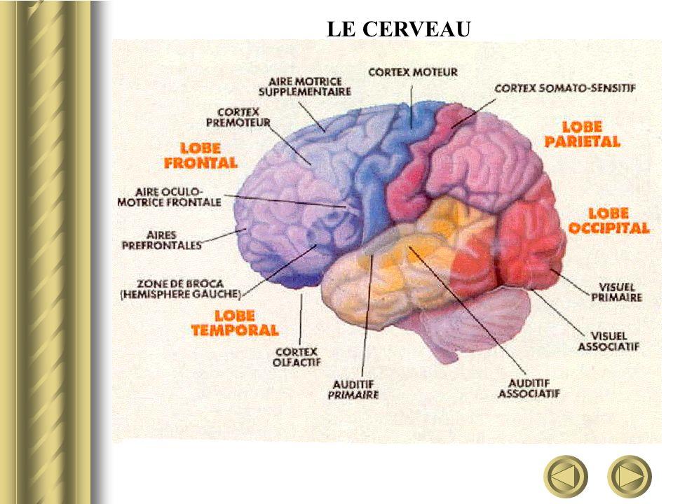 Selon une étude publiée en avril 1999 une structure différente du cerveau peut expliquer les différences de comportement entre les hommes et les femmes.